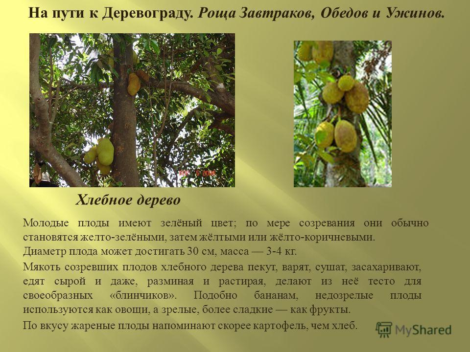 На пути к Деревограду. Роща Завтраков, Обедов и Ужинов. Молодые плоды имеют зелёный цвет ; по мере созревания они обычно становятся желто - зелёными, затем жёлтыми или жёлто - коричневыми. Диаметр плода может достигать 30 см, масса 3-4 кг. Мякоть соз