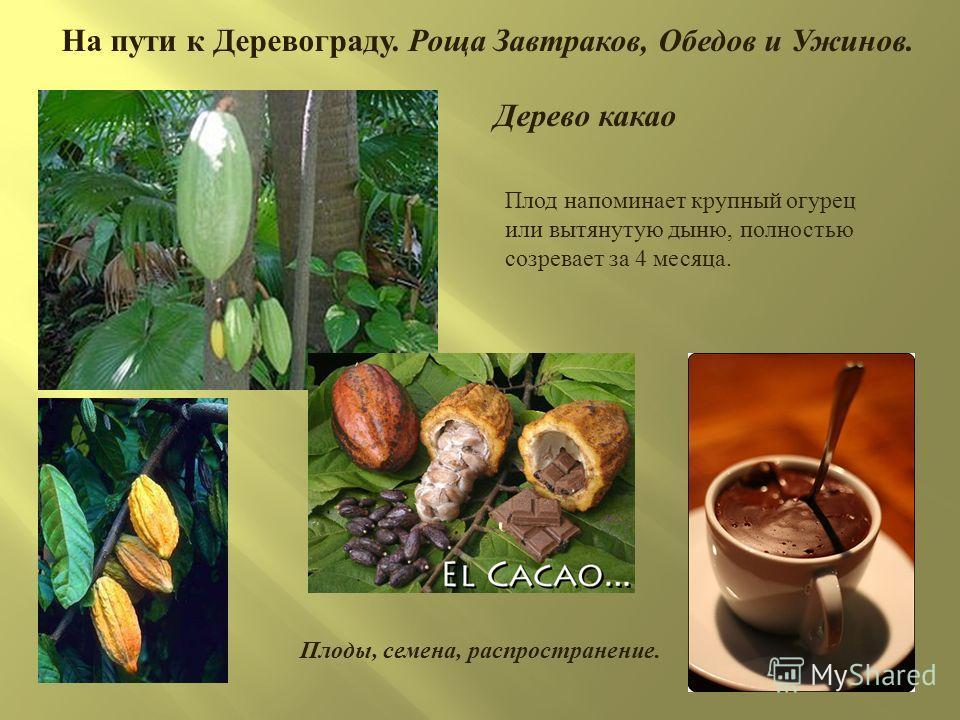 На пути к Деревограду. Роща Завтраков, Обедов и Ужинов. Плод напоминает крупный огурец или вытянутую дыню, полностью созревает за 4 месяца. Дерево какао Плоды, семена, распространение.