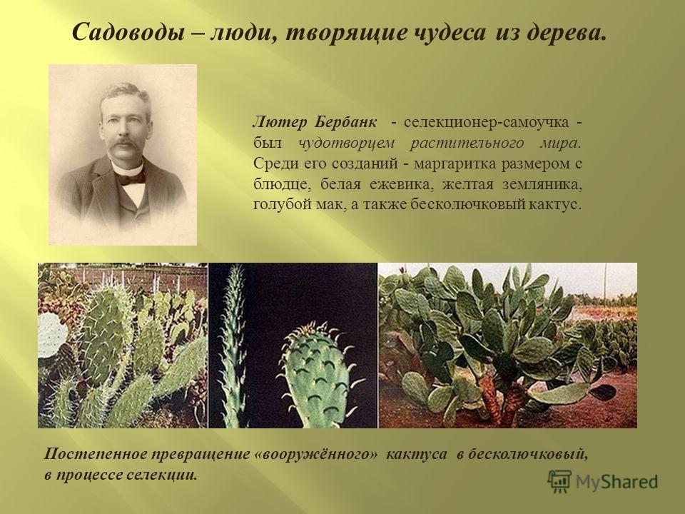 Садоводы – люди, творящие чудеса из дерева. Постепенное превращение « вооружённого » кактуса в бесколючковый, в процессе селекции. Лютер Бербанк - селекционер - самоучка - был чудотворцем растительного мира. Среди его созданий - маргаритка размером с