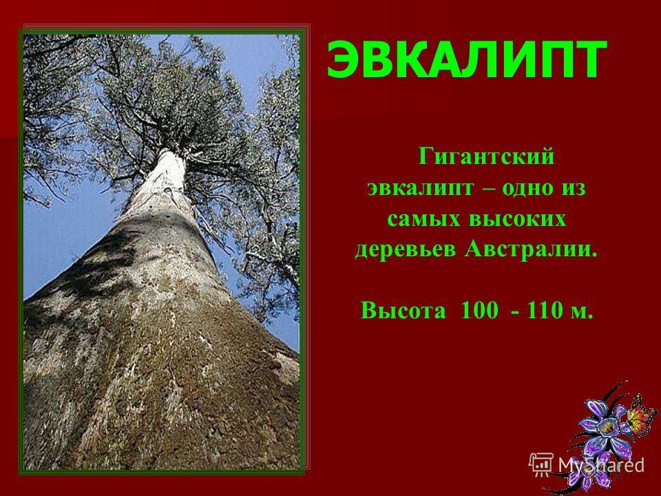 ЭВКАЛИПТ Гигантский эвкалипт – одно из самых высоких деревьев Австралии. Высота 100 - 110 м.