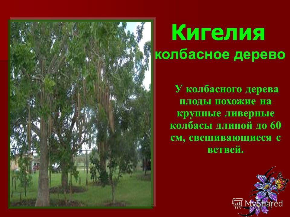 Кигелия колбасное дерево У колбасного дерева плоды похожие на крупные ливерные колбасы длиной до 60 см, свешивающиеся с ветвей.