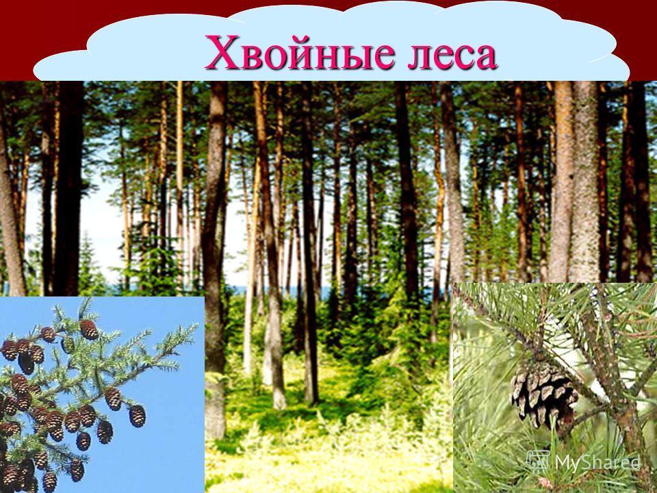 Хвойные леса Хвойные леса