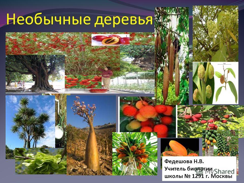 Необычные деревья Федешова Н.В. Учитель биологии школы 1291 г. Москвы