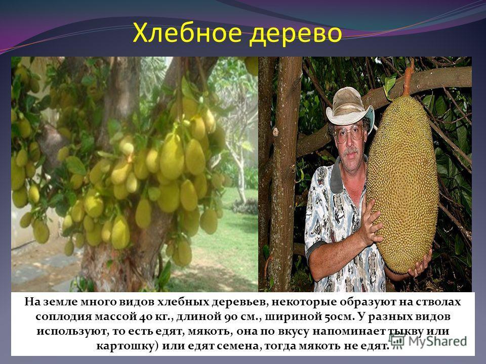 Хлебное дерево На земле много видов хлебных деревьев, некоторые образуют на стволах соплодия массой 40 кг., длиной 90 см., шириной 50см. У разных видов используют, то есть едят, мякоть, она по вкусу напоминает тыкву или картошку) или едят семена, тог