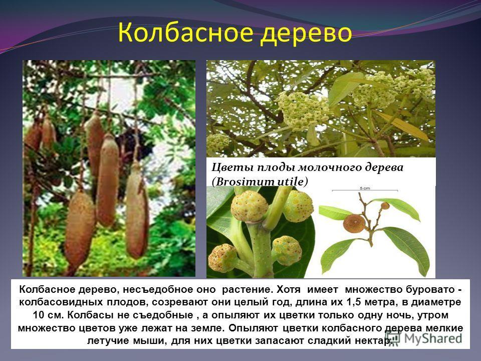 Колбасное дерево Цветы плоды молочного дерева (Brosimum utile) Колбасное дерево, несъедобное оно растение. Хотя имеет множество буровато - колбасовидных плодов, созревают они целый год, длина их 1,5 метра, в диаметре 10 см. Колбасы не съедобные, а оп