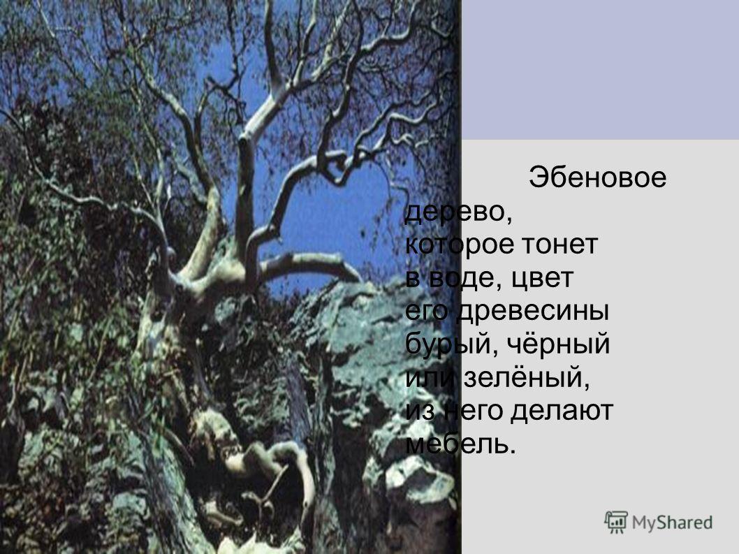 Эбеновое дерево, которое тонет в воде, цвет его древесины бурый, чёрный или зелёный, из него делают мебель.