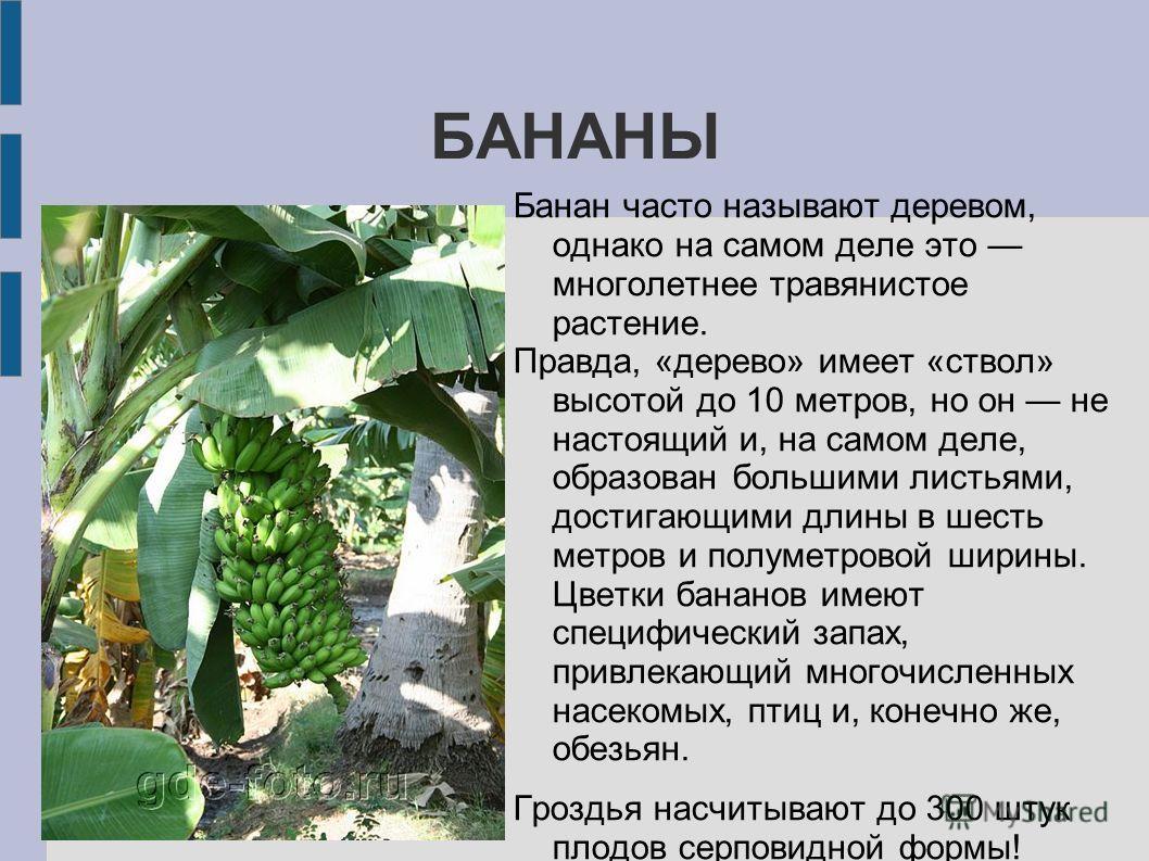 БАНАНЫ Банан часто называют деревом, однако на самом деле это многолетнее травянистое растение. Правда, «дерево» имеет «ствол» высотой до 10 метров, но он не настоящий и, на самом деле, образован большими листьями, достигающими длины в шесть метров и