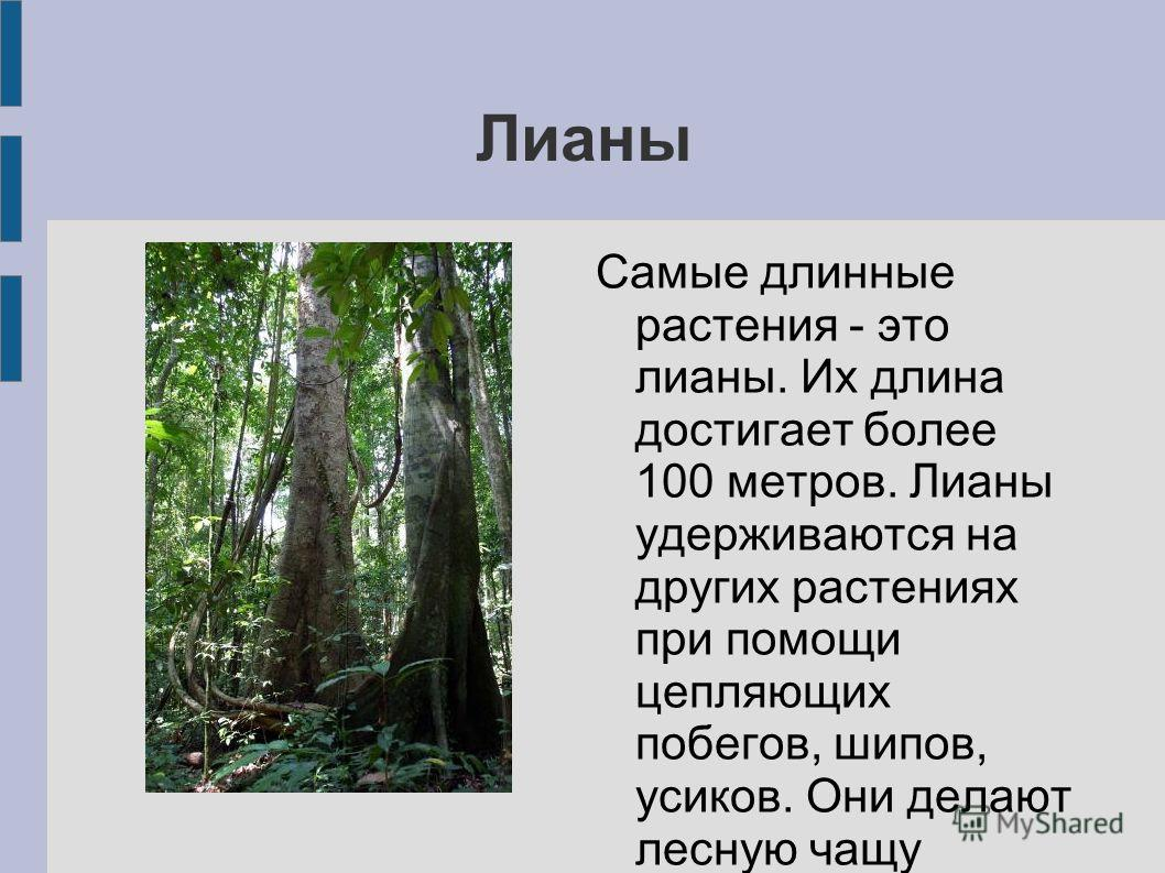 Лианы Самые длинные растения - это лианы. Их длина достигает более 100 метров. Лианы удерживаются на других растениях при помощи цепляющих побегов, шипов, усиков. Они делают лесную чащу непроходимой.