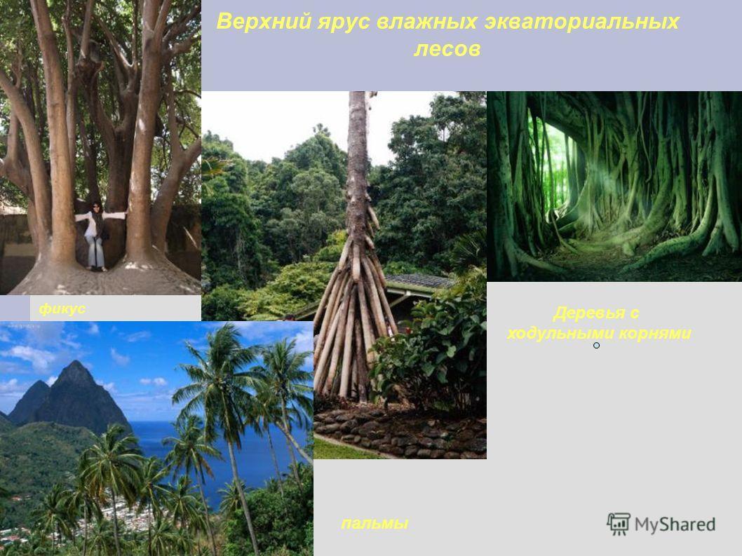 Верхний ярус влажных экваториальных лесов фикус Деревья с ходульными корнями пальмы