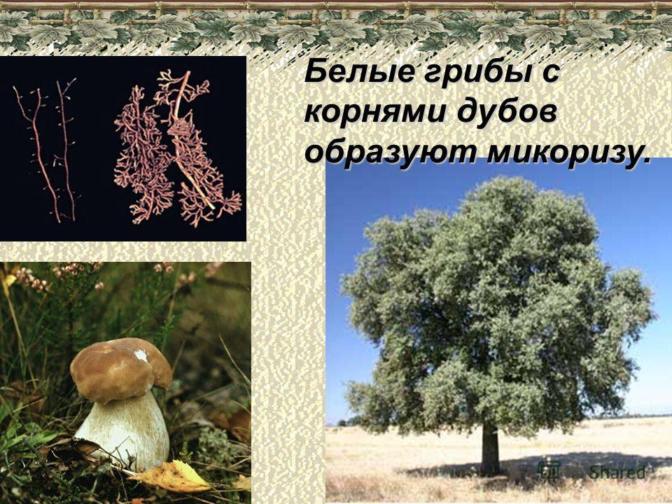 Белые грибы с корнями дубов образуют микоризу.