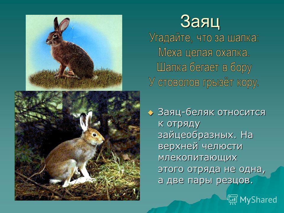 Заяц Заяц Заяц-беляк относится к отряду зайцеобразных. На верхней челюсти млекопитающих этого отряда не одна, а две пары резцов. Заяц-беляк относится к отряду зайцеобразных. На верхней челюсти млекопитающих этого отряда не одна, а две пары резцов.