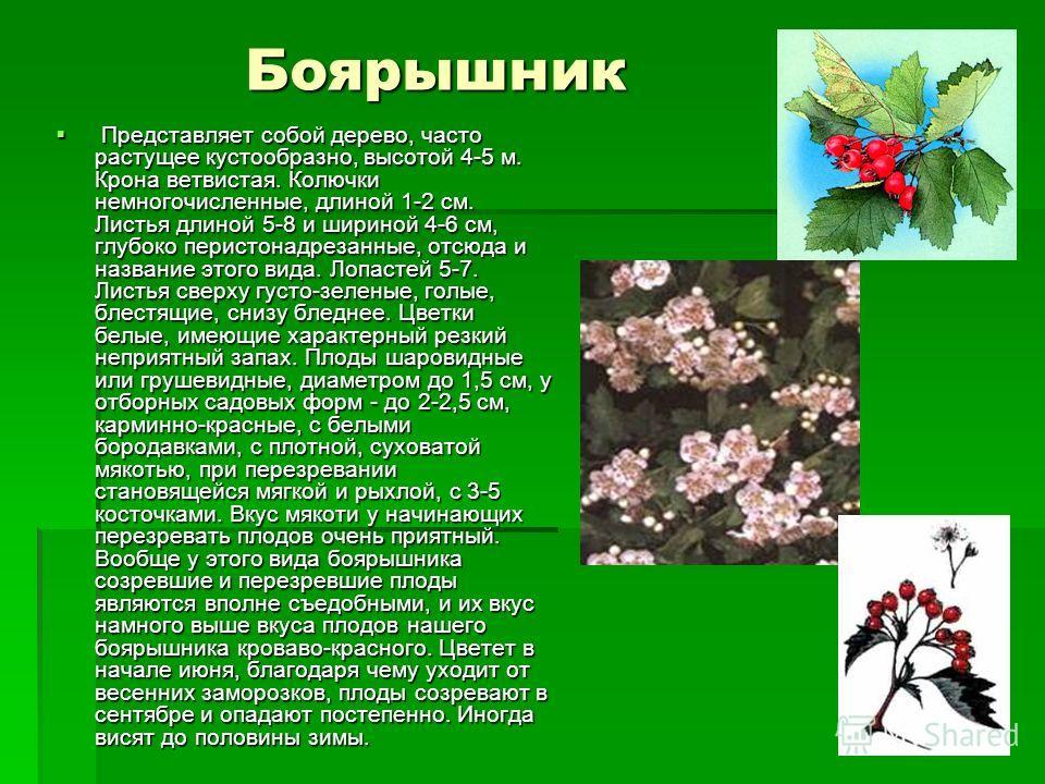 Боярышник Представляет собой дерево, часто растущее кустообразно, высотой 4-5 м. Крона ветвистая. Колючки немногочисленные, длиной 1-2 см. Листья длиной 5-8 и шириной 4-6 см, глубоко перистонадрезанные, отсюда и название этого вида. Лопастей 5-7. Лис