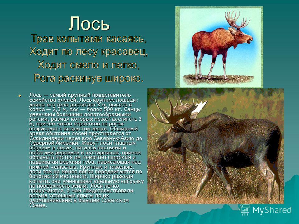 Лось Лось самый крупный представитель семейства оленей. Лось крупнее лошади: длина его тела достигает 3 м, высота в холке 2,3 м, вес более 500 кг. Самцы увенчаны большими лопатообразными рогами, размах которых может достигать 3 м, причем число отрост