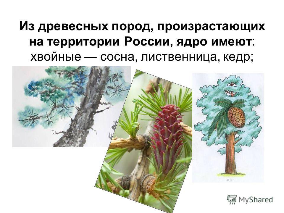 Из древесных пород, произрастающих на территории России, ядро имеют: хвойные сосна, лиственница, кедр;