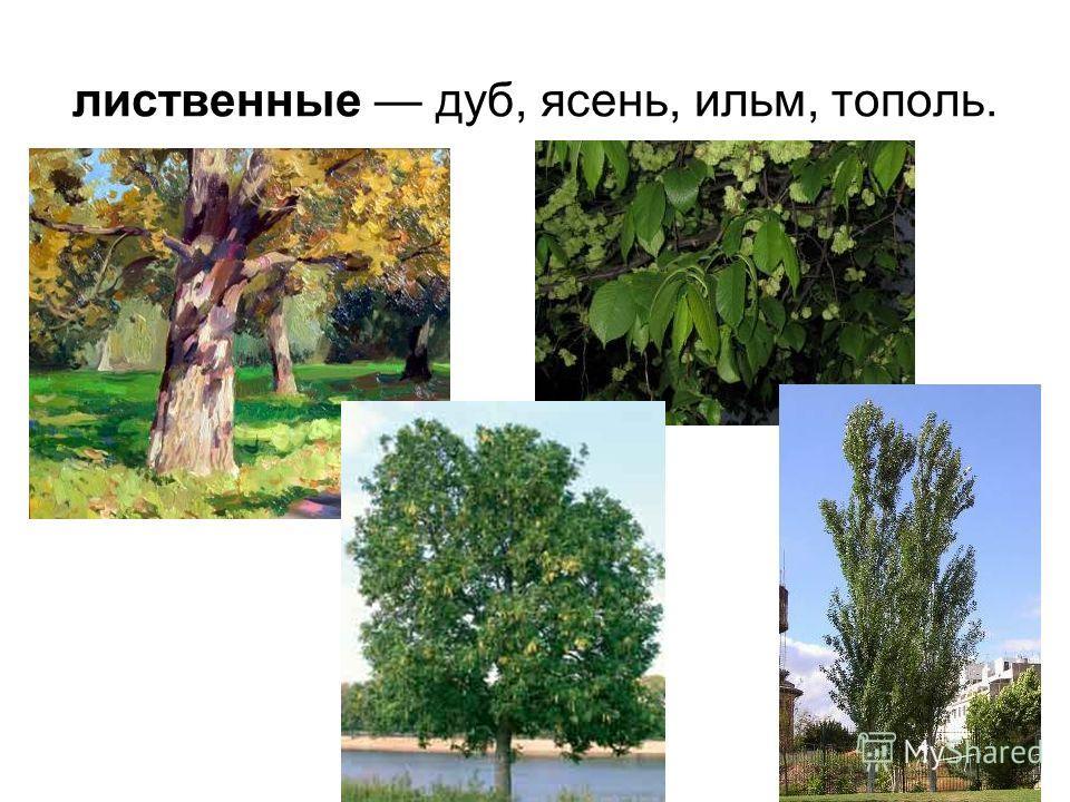 лиственные дуб, ясень, ильм, тополь.