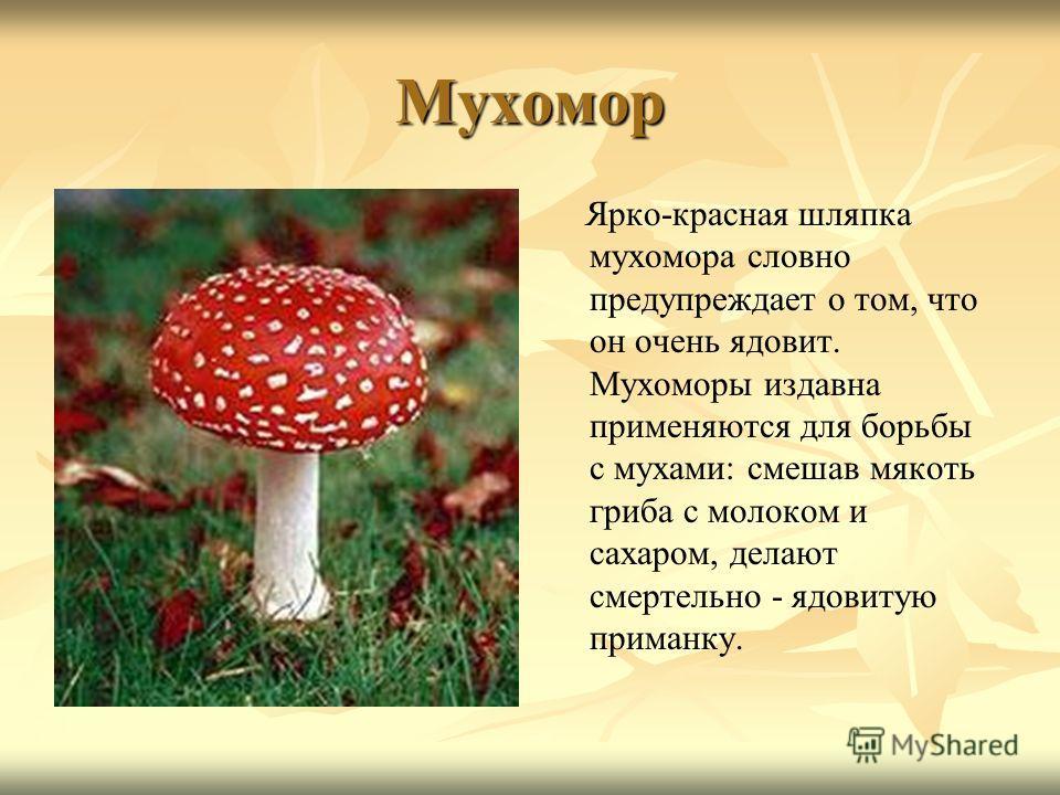 Мухомор Ярко-красная шляпка мухомора словно предупреждает о том, что он очень ядовит. Мухоморы издавна применяются для борьбы с мухами: смешав мякоть гриба с молоком и сахаром, делают смертельно - ядовитую приманку.