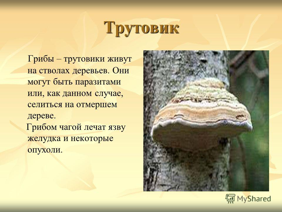 Трутовик Грибы – трутовики живут на стволах деревьев. Они могут быть паразитами или, как данном случае, селиться на отмершем дереве. Грибом чагой лечат язву желудка и некоторые опухоли.