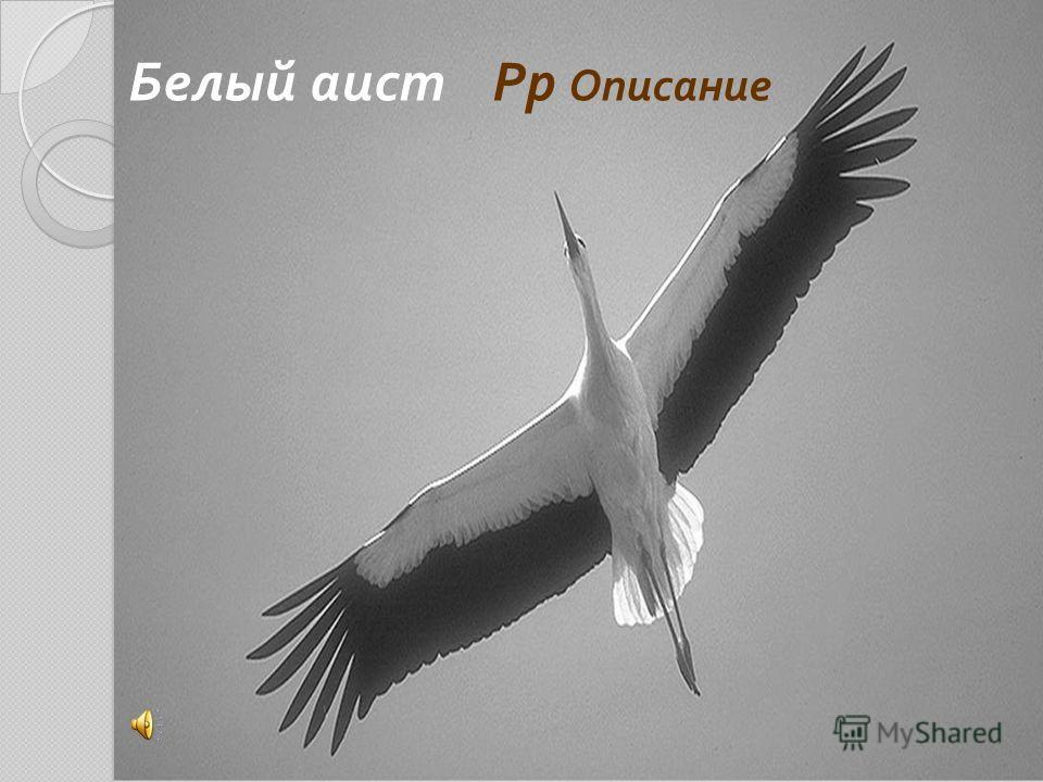 Белый аист Рр Описание
