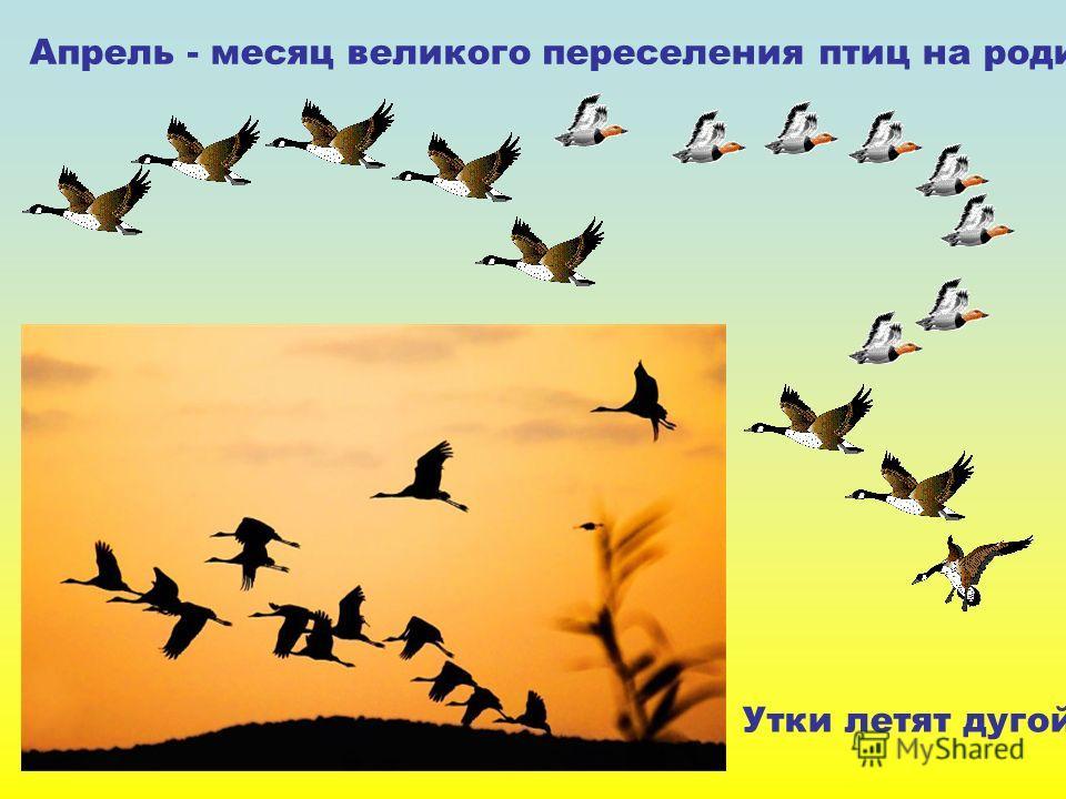 Апрель - месяц великого переселения птиц на родину. Утки летят дугой. Апрель - месяц великого переселения птиц на родину. Утки летят дугой.