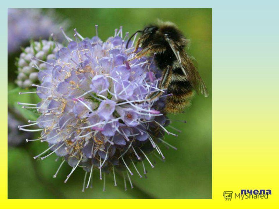 пчела Пчела.