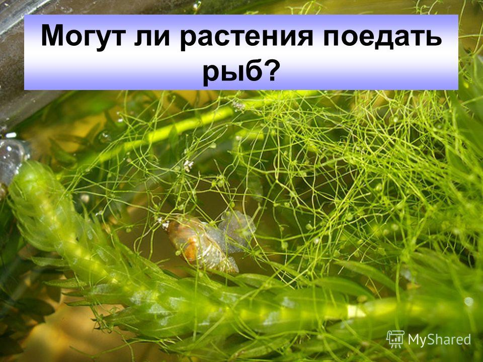 Могут ли растения поедать рыб?
