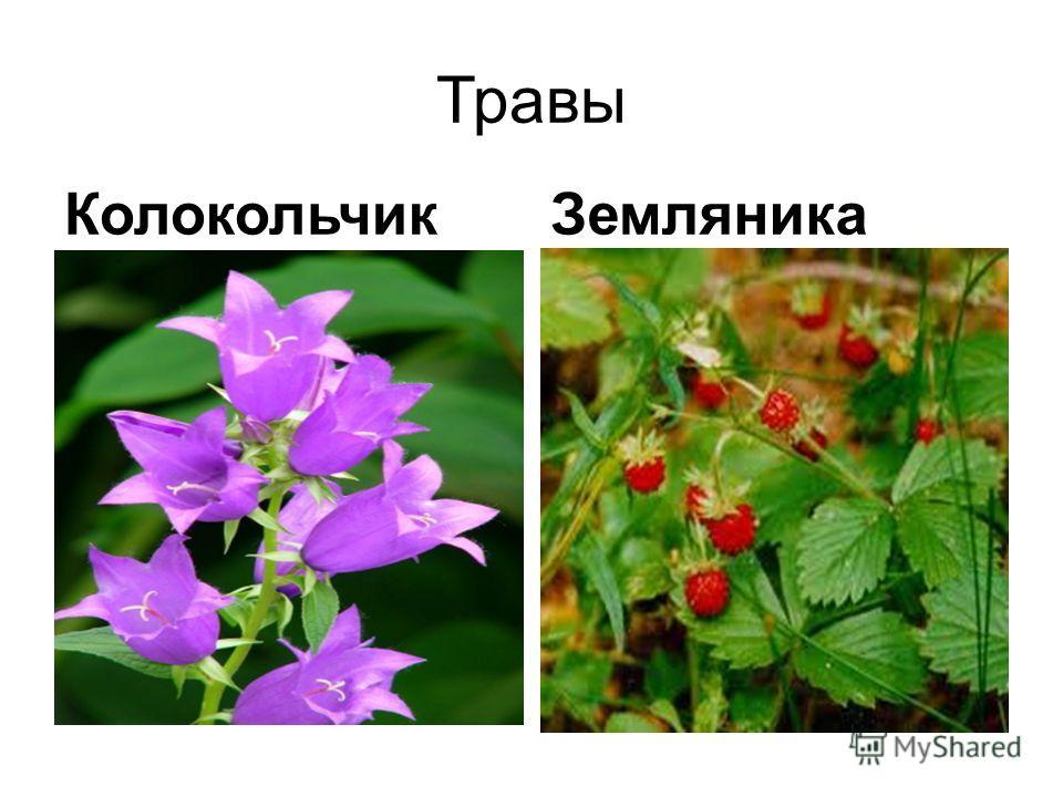 Травы КолокольчикЗемляника
