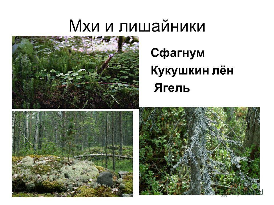Мхи и лишайники Сфагнум Кукушкин лён Ягель