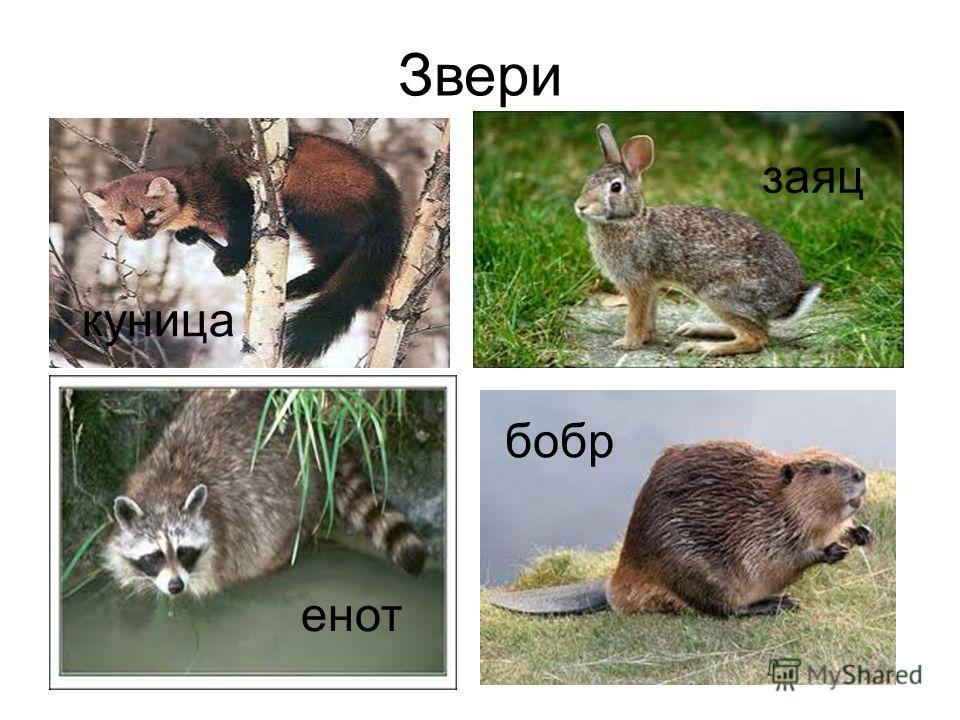 Звери куница енот заяц бобр