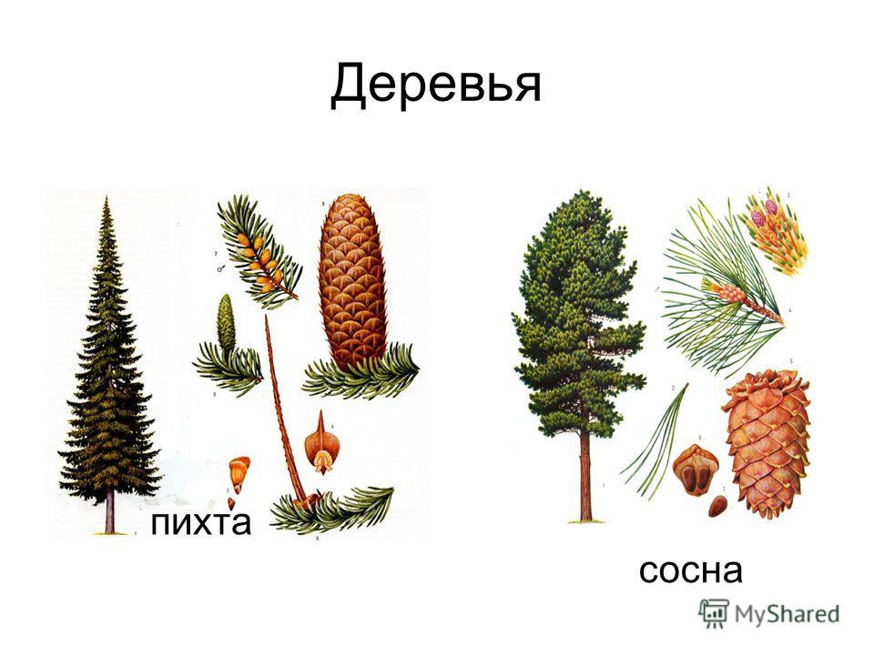 Деревья пихта сосна