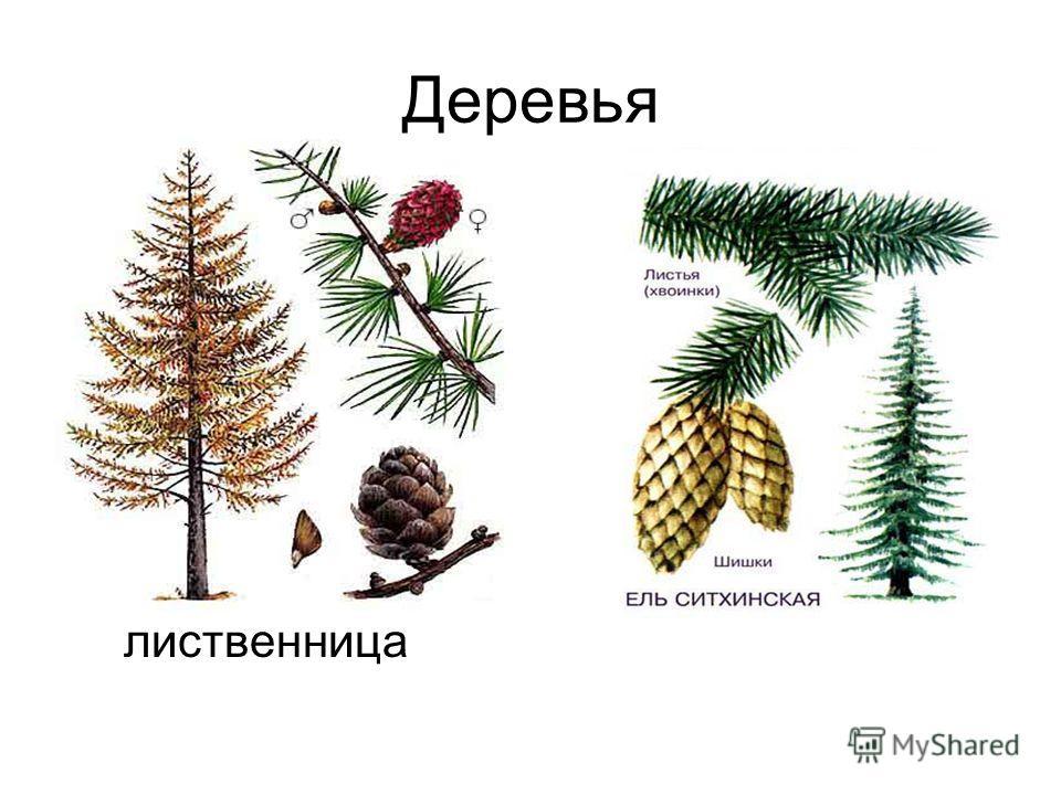 Деревья лиственница