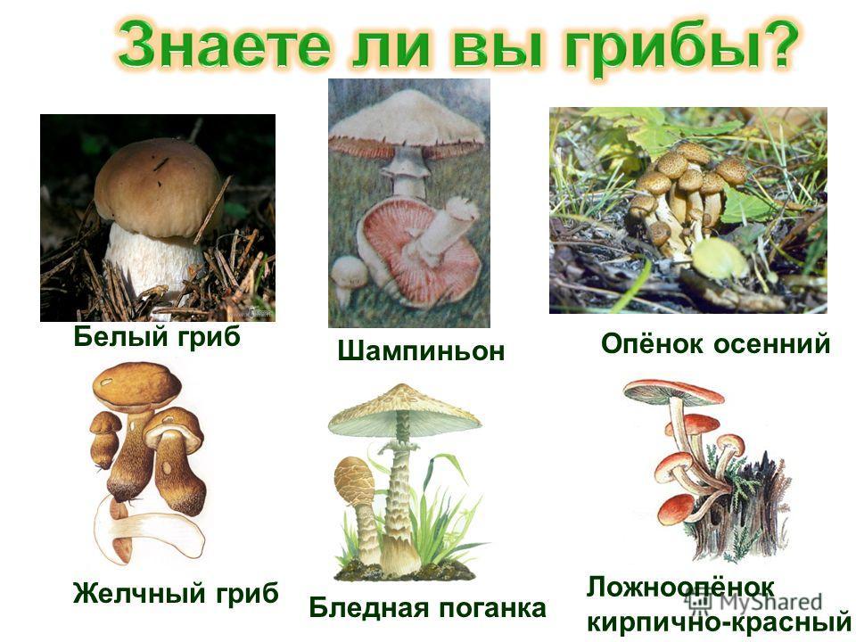Белый гриб Шампиньон Опёнок осенний Желчный гриб Бледная поганка Ложноопёнок кирпично-красный