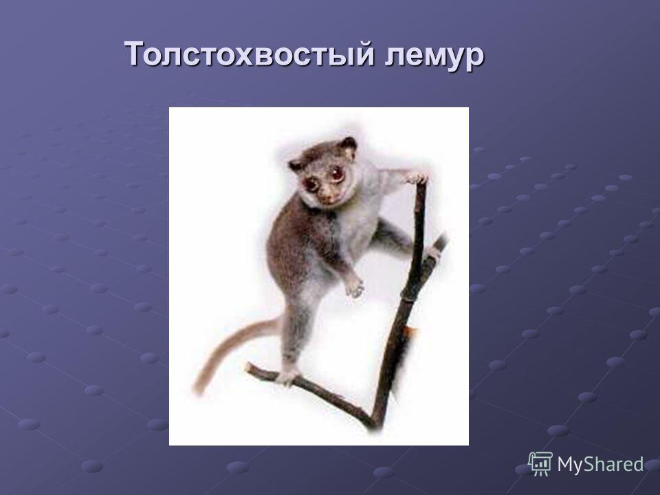 Толстохвостый лемур