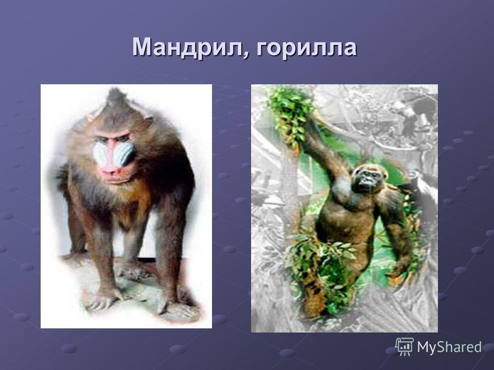 Мандрил, горилла
