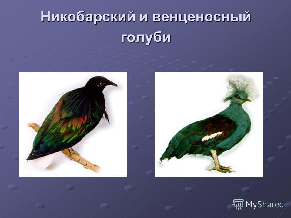Никобарский и венценосный голуби