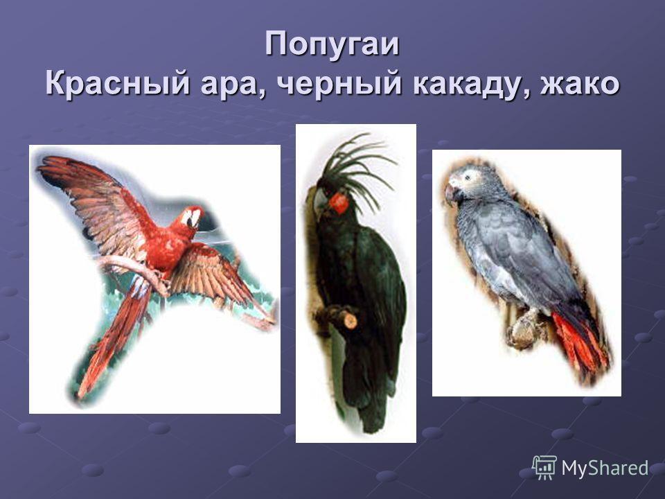 Попугаи Красный ара, черный какаду, жако