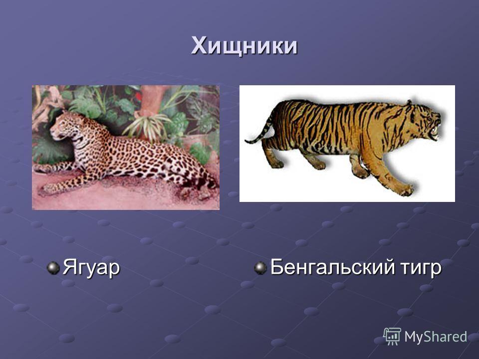 Хищники Ягуар Бенгальский тигр
