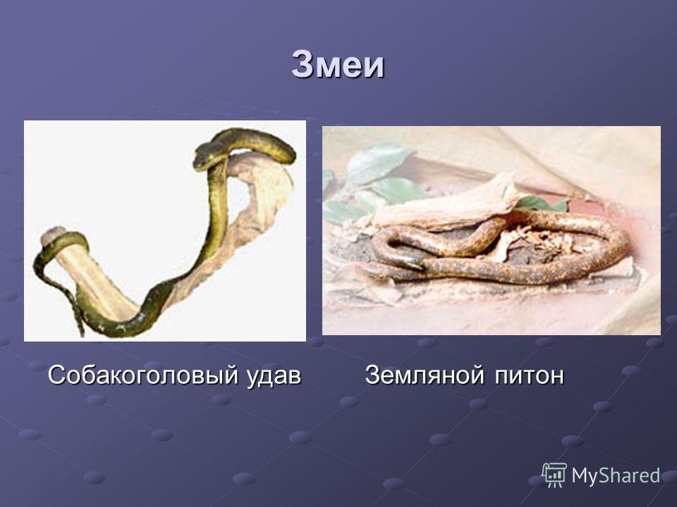 Змеи Собакоголовый удав Земляной питон Собакоголовый удав Земляной питон