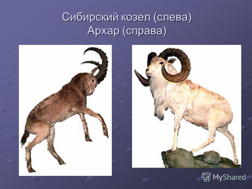 Сибирский козел (слева) Архар (справа)