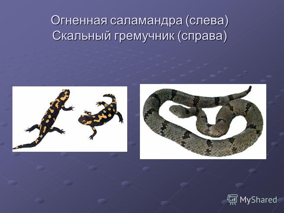 Огненная саламандра (слева) Скальный гремучник (справа)