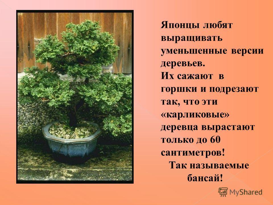 Японцы любят выращивать уменьшенные версии деревьев. Их сажают в горшки и подрезают так, что эти «карликовые» деревца вырастают только до 60 сантиметров! Так называемые бансай!