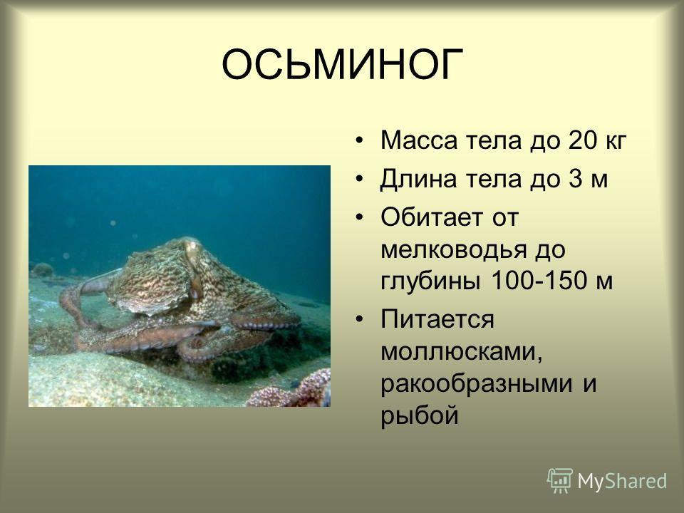 ОСЬМИНОГ Масса тела до 20 кг Длина тела до 3 м Обитает от мелководья до глубины 100-150 м Питается моллюсками, ракообразными и рыбой