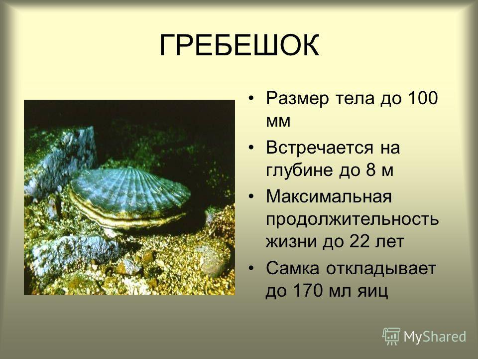 ГРЕБЕШОК Размер тела до 100 мм Встречается на глубине до 8 м Максимальная продолжительность жизни до 22 лет Самка откладывает до 170 мл яиц