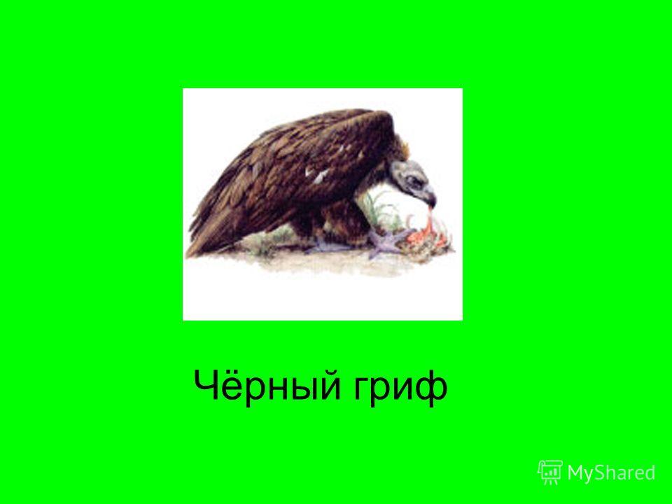 Чёрный гриф
