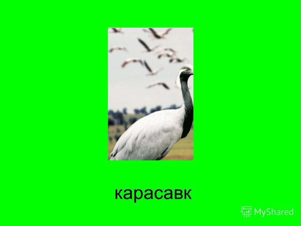 карасавккарасавк