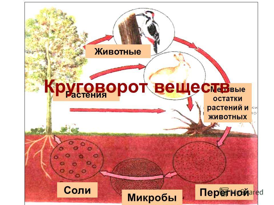 Животные Растения Мертвые остатки растений и животных Перегной Микробы Соли Круговорот веществ