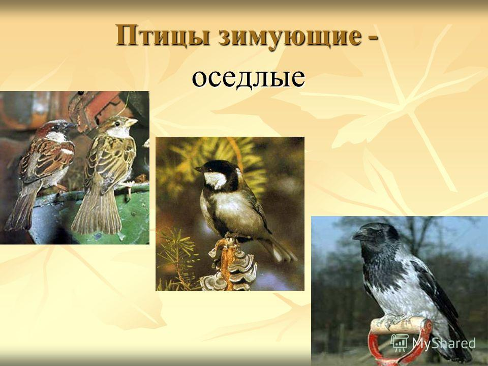 Птицы зимующие - оседлые