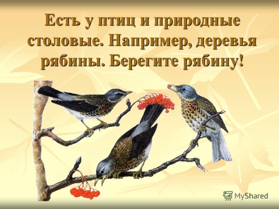 Есть у птиц и природные столовые. Например, деревья рябины. Берегите рябину!