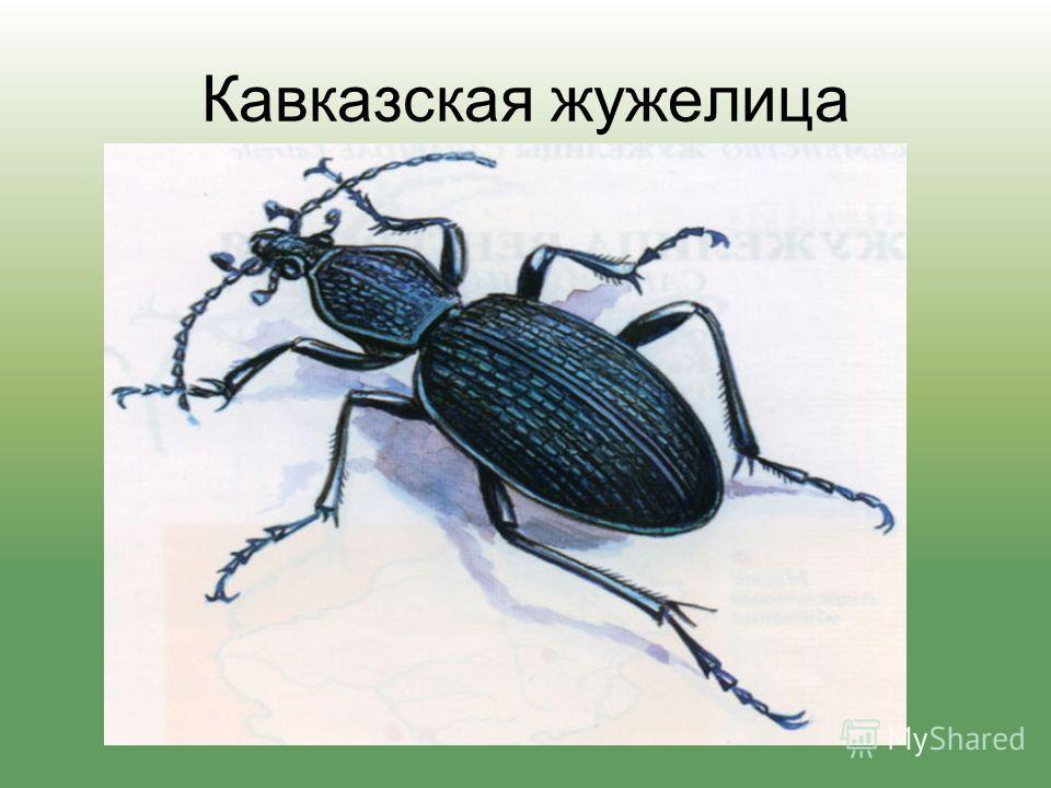 Кавказская жужелица