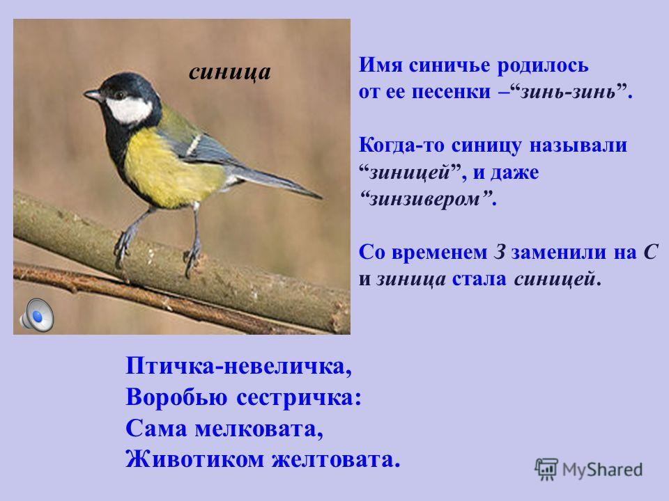 Птичка-невеличка, Воробью сестричка: Сама мелковата, Животиком желтовата. Имя синичье родилось от ее песенки –зинь-зинь. Когда-то синицу назывализиницей, и дажезинзивером. Со временем З заменили на С и зиница стала синицей. синица