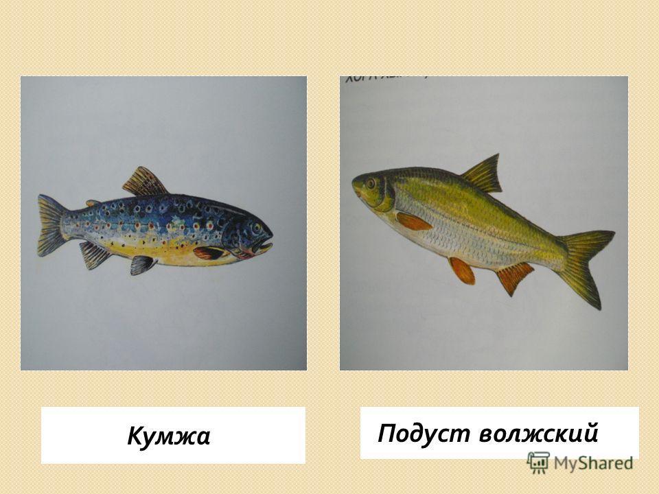 Кумжа Подуст волжский